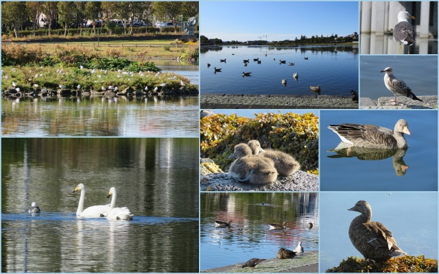 Reykjavik Iceland_birds, ducks , geese
